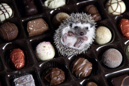 hedgehog in a box of chocolates