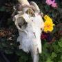 goat-skull