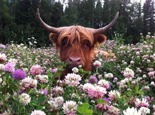 taurus-sweet-bull